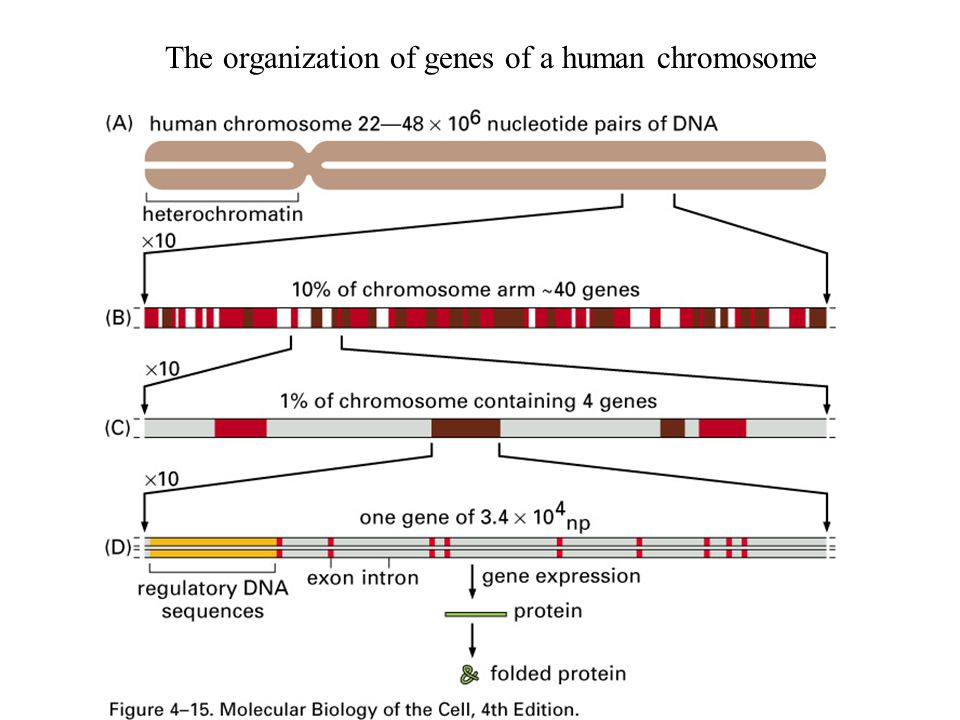 The organization of genes of a human chromosome