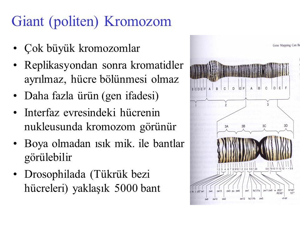 Giant (politen) Kromozom