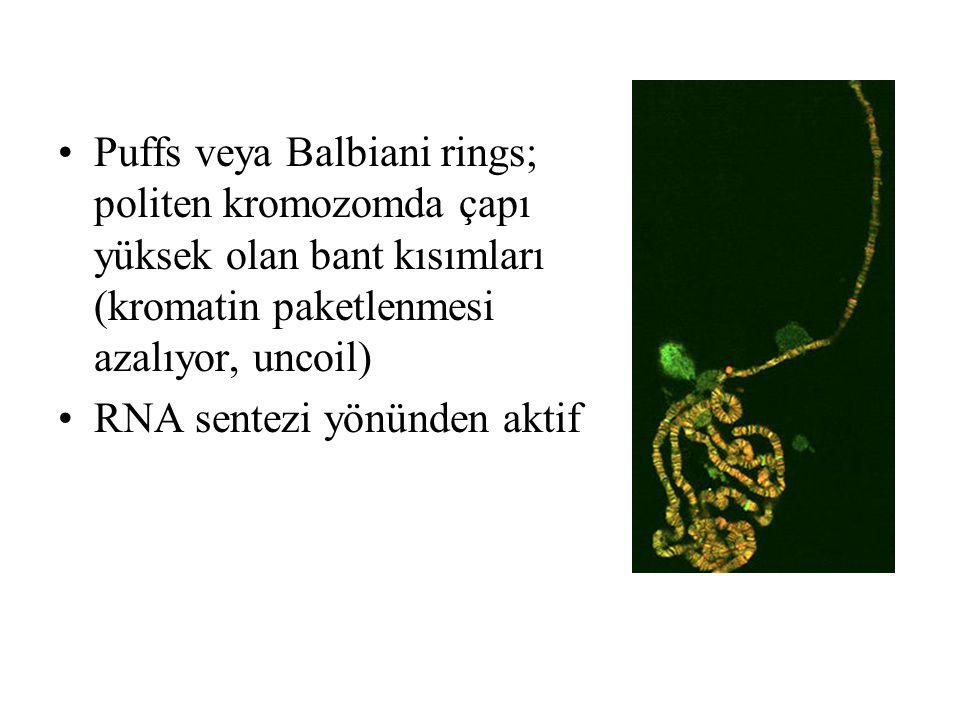 Puffs veya Balbiani rings; politen kromozomda çapı yüksek olan bant kısımları (kromatin paketlenmesi azalıyor, uncoil)