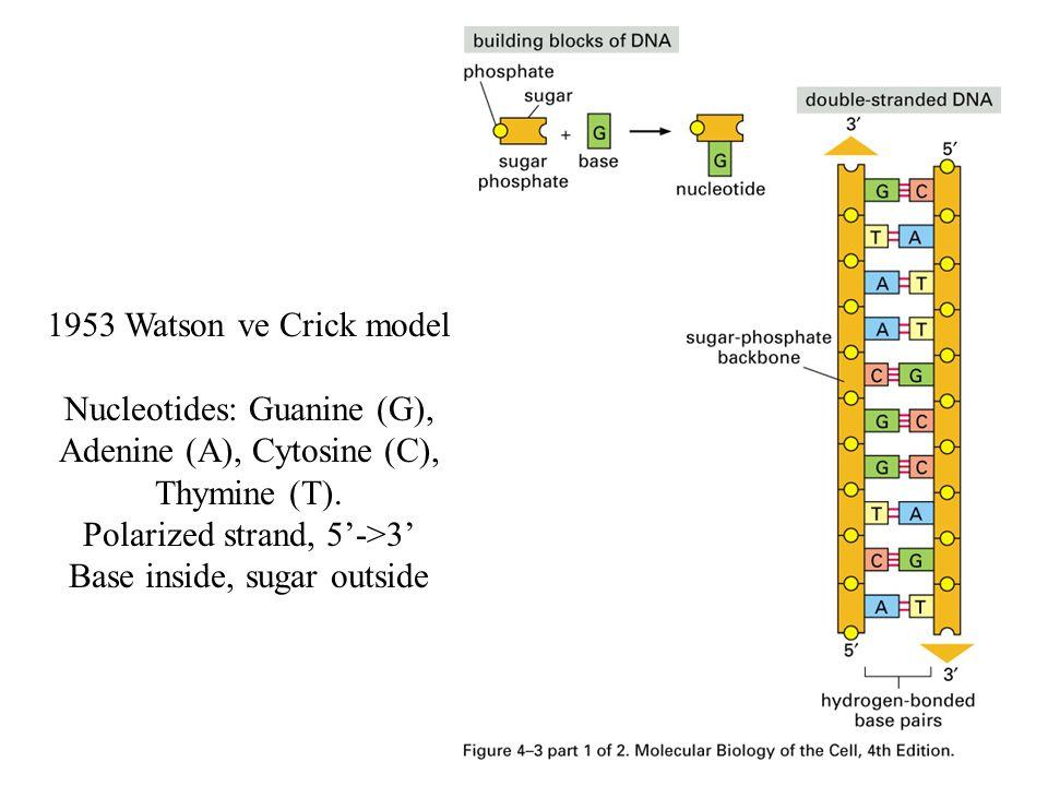 Nucleotides: Guanine (G), Adenine (A), Cytosine (C), Thymine (T).