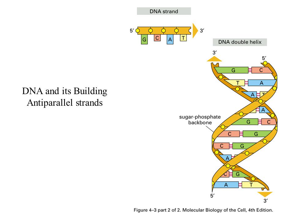 DNA and its Building Antiparallel strands