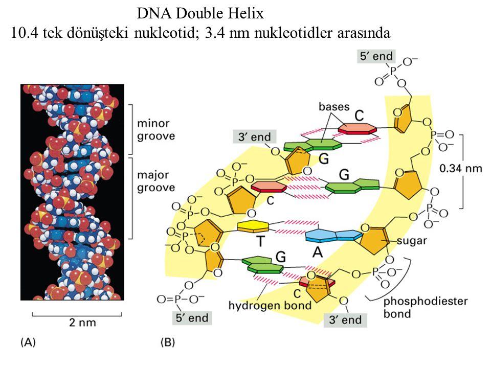 10.4 tek dönüşteki nukleotid; 3.4 nm nukleotidler arasında