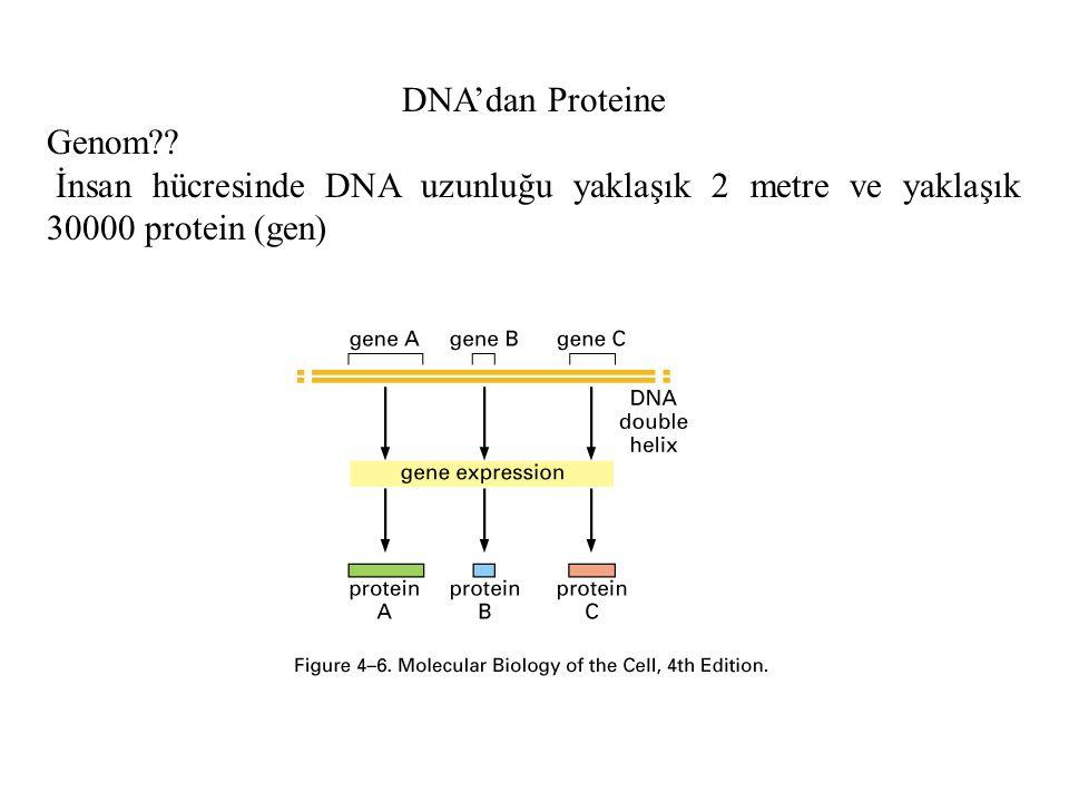 DNA'dan Proteine Genom .