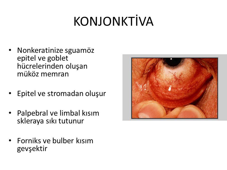 KONJONKTİVA Nonkeratinize sguamöz epitel ve goblet hücrelerinden oluşan müköz memran. Epitel ve stromadan oluşur.