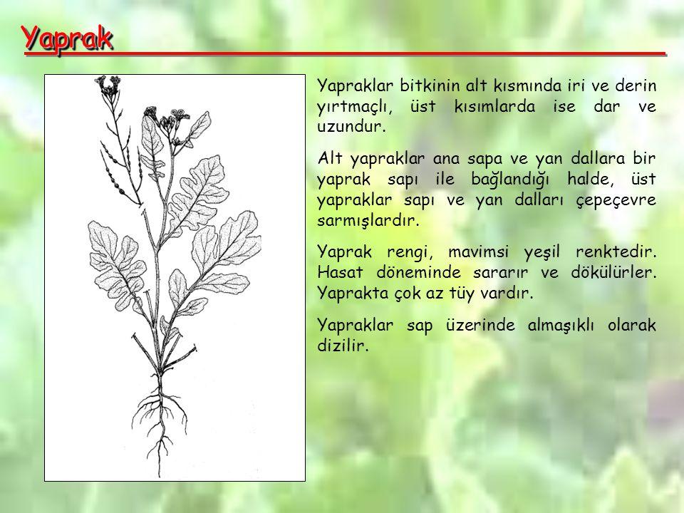 Yaprak Yapraklar bitkinin alt kısmında iri ve derin yırtmaçlı, üst kısımlarda ise dar ve uzundur.