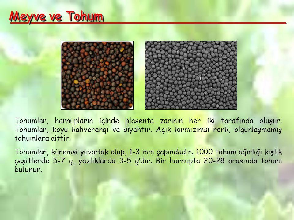 Meyve ve Tohum