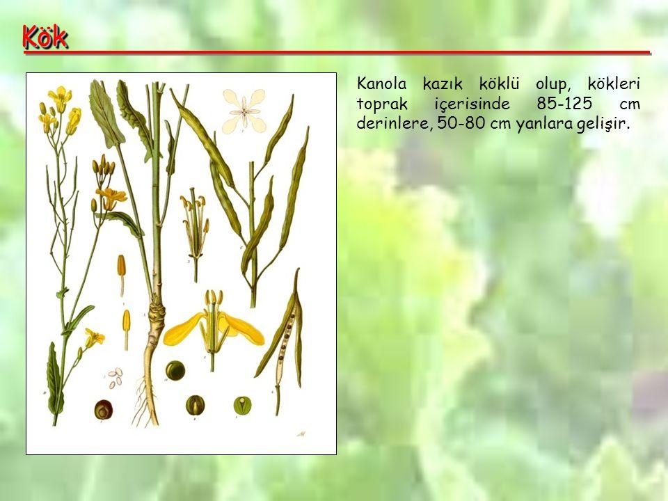 Kök Kanola kazık köklü olup, kökleri toprak içerisinde 85-125 cm derinlere, 50-80 cm yanlara gelişir.