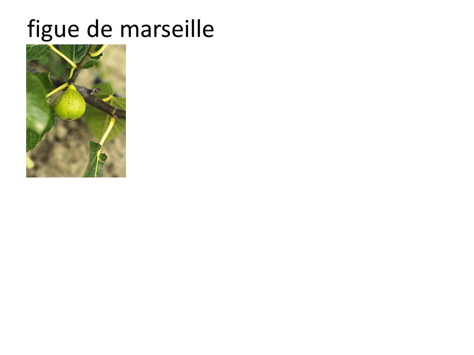 figue de marseille