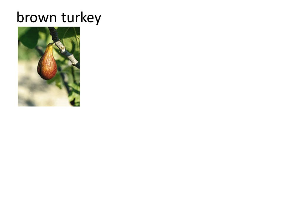 brown turkey
