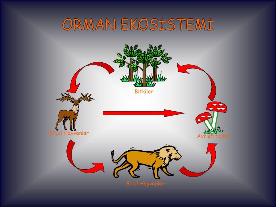 ORMAN EKOSİSTEMİ Bitkiler Otçul Hayvanlar Ayrıştırıcılar