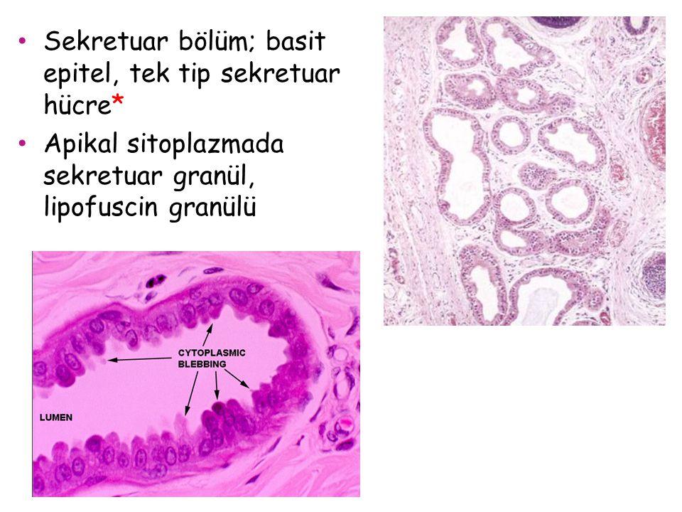 Sekretuar bölüm; basit epitel, tek tip sekretuar hücre*