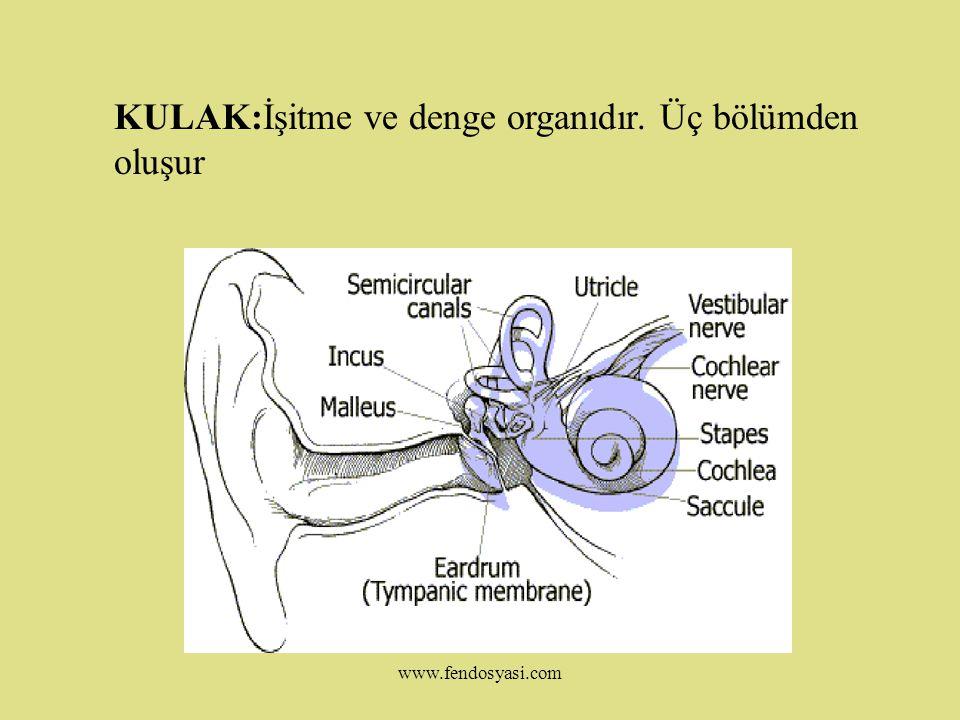 KULAK:İşitme ve denge organıdır. Üç bölümden oluşur