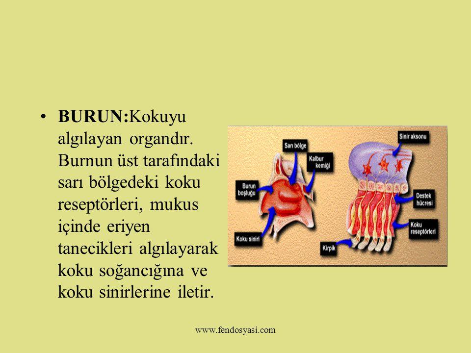 BURUN:Kokuyu algılayan organdır