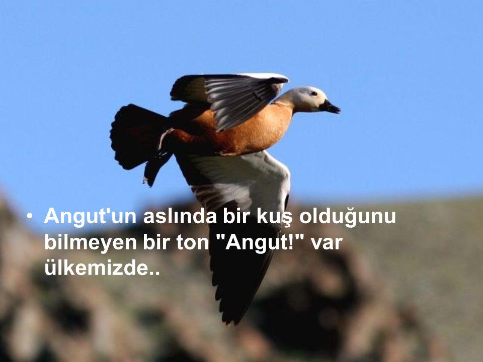 Angut un aslında bir kuş olduğunu bilmeyen bir ton Angut