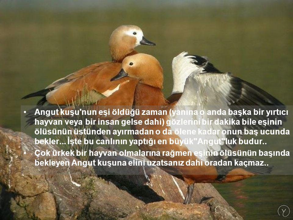 Angut kuşu nun eşi öldüğü zaman (yanına o anda başka bir yırtıcı hayvan veya bir insan gelse dahi) gözlerini bir dakika bile eşinin ölüsünün üstünden ayırmadan o da ölene kadar onun baş ucunda bekler... İşte bu canlının yaptığı en büyük Angut luk budur..