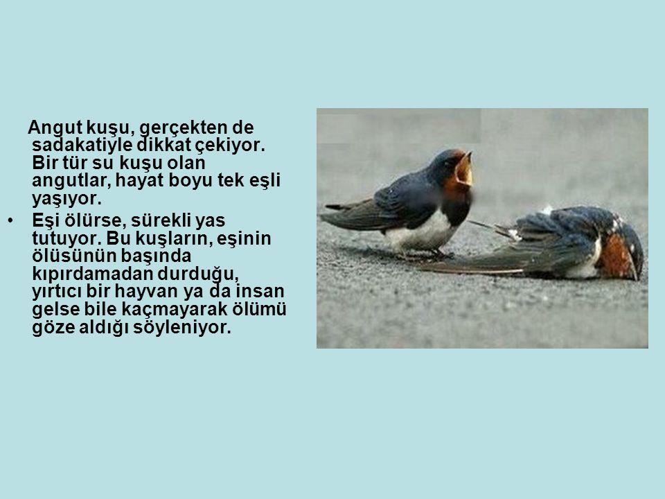Angut kuşu, gerçekten de sadakatiyle dikkat çekiyor