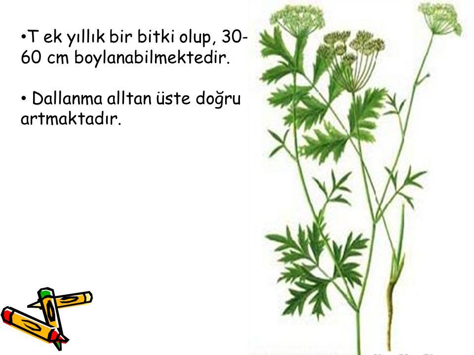 T ek yıllık bir bitki olup, 30-60 cm boylanabilmektedir.