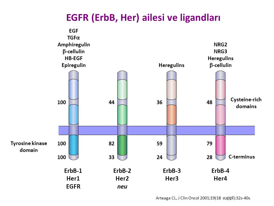 EGFR (ErbB, Her) ailesi ve ligandları