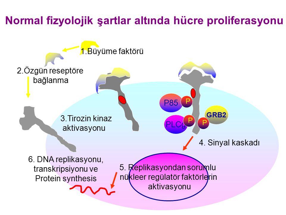 Normal fizyolojik şartlar altında hücre proliferasyonu