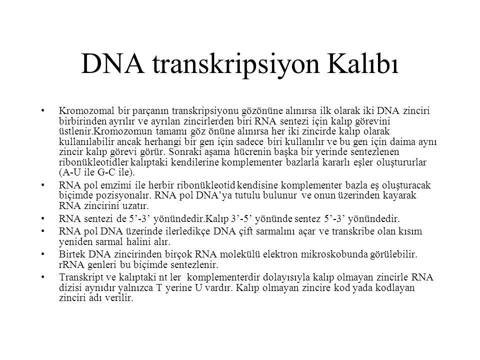 DNA transkripsiyon Kalıbı