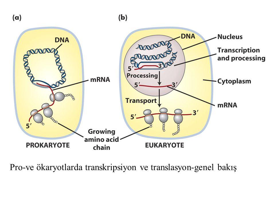 Pro-ve ökaryotlarda transkripsiyon ve translasyon-genel bakış