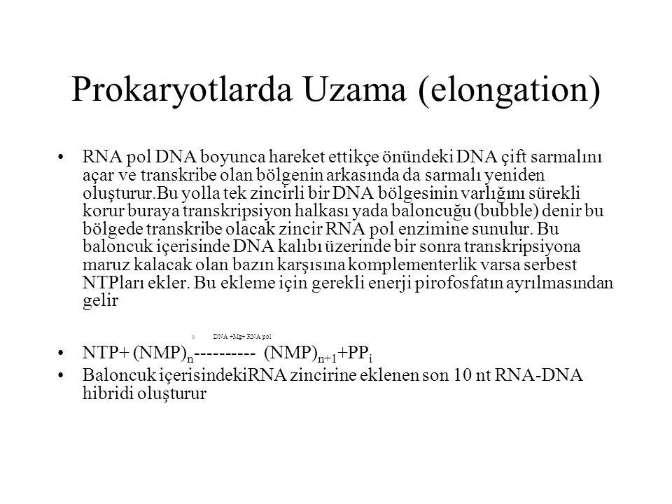 Prokaryotlarda Uzama (elongation)