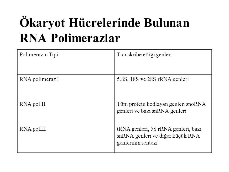 Ökaryot Hücrelerinde Bulunan RNA Polimerazlar