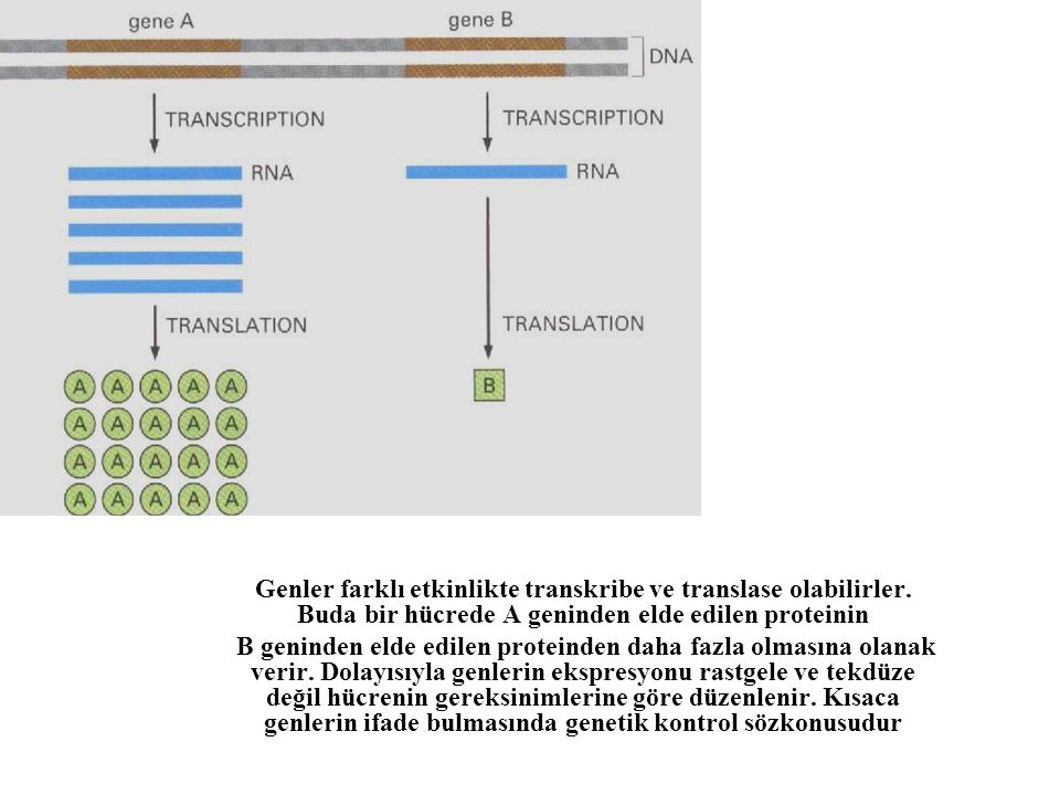 Genler farklı etkinlikte transkribe ve translase olabilirler