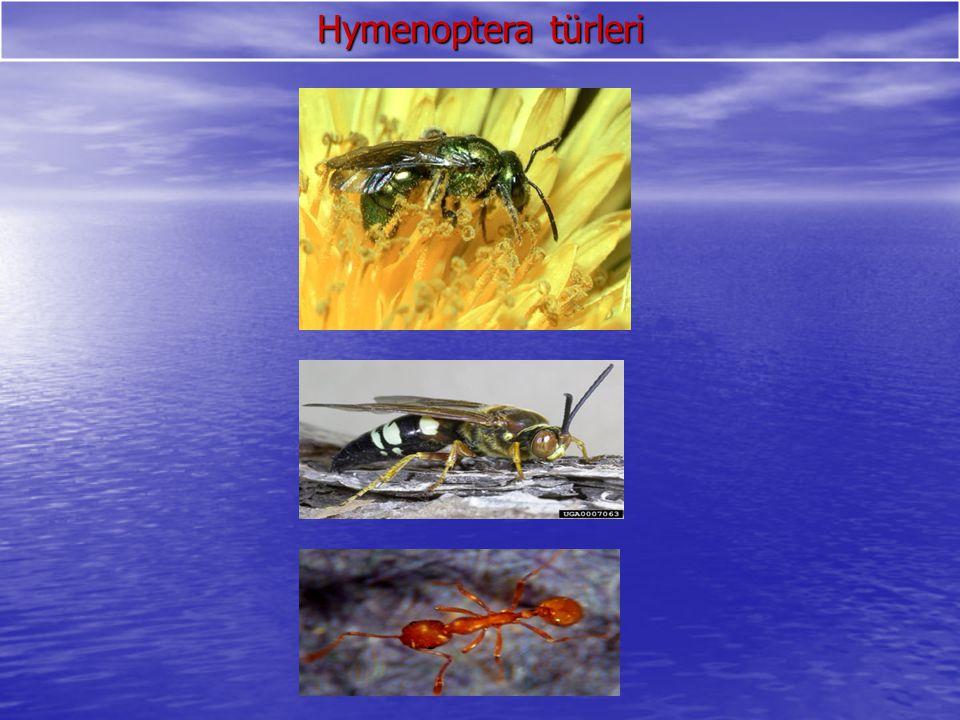 Hymenoptera türleri