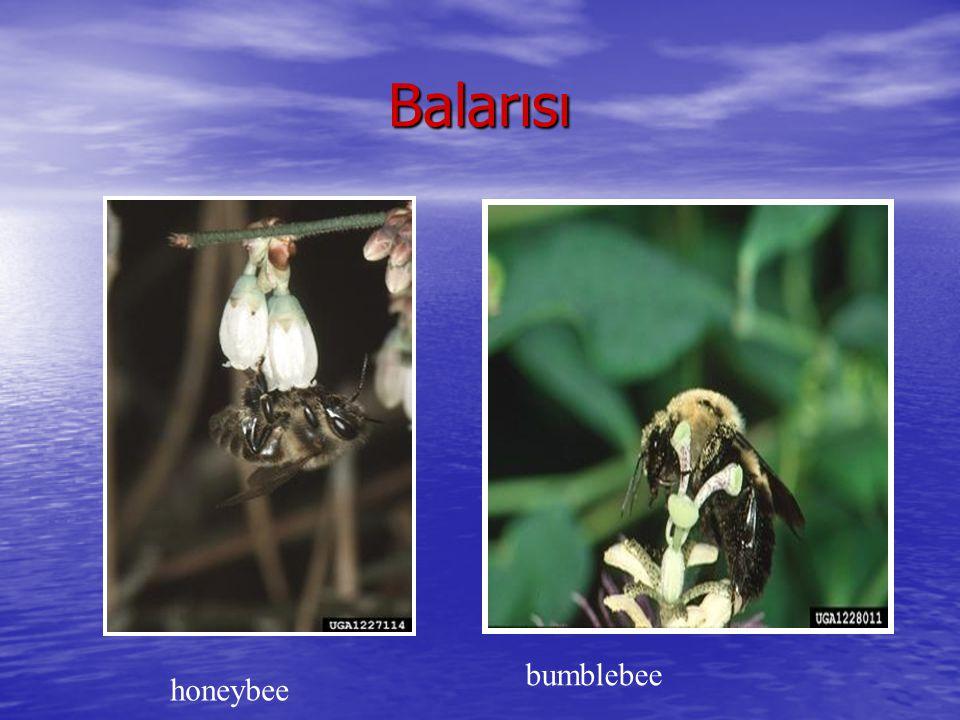 Balarısı bumblebee honeybee