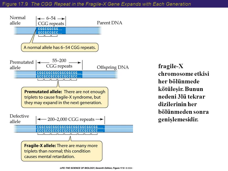 Figure 17.9 The CGG Repeat in the Fragile-X Gene Expands with Each Generation