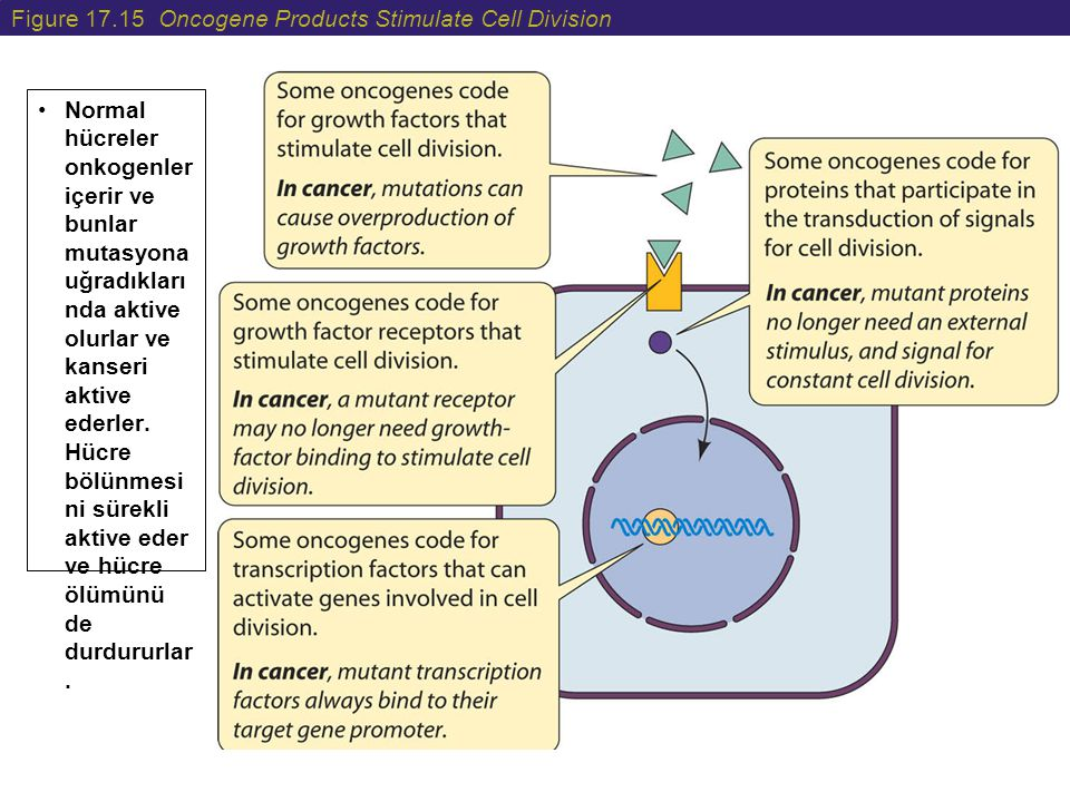 Figure 17.15 Oncogene Products Stimulate Cell Division