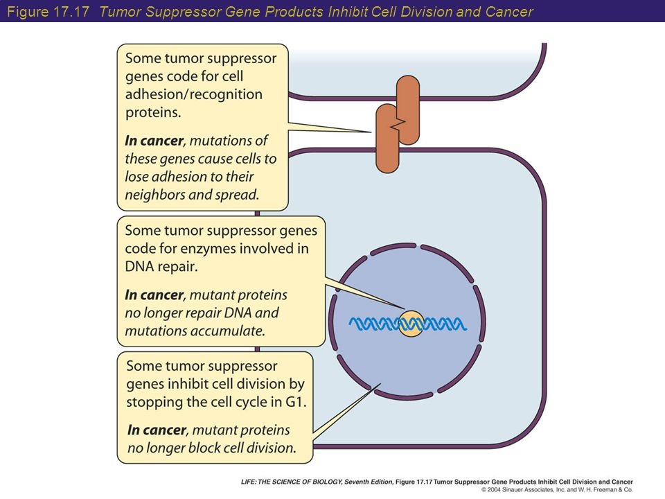 Figure 17.17 Tumor Suppressor Gene Products Inhibit Cell Division and Cancer