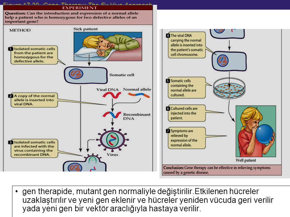 Figure 17.20 Gene Therapy: The Ex Vivo Approach