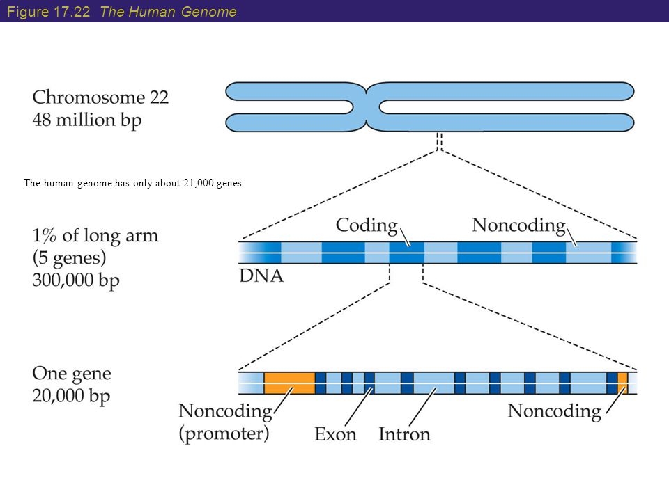 Figure 17.22 The Human Genome