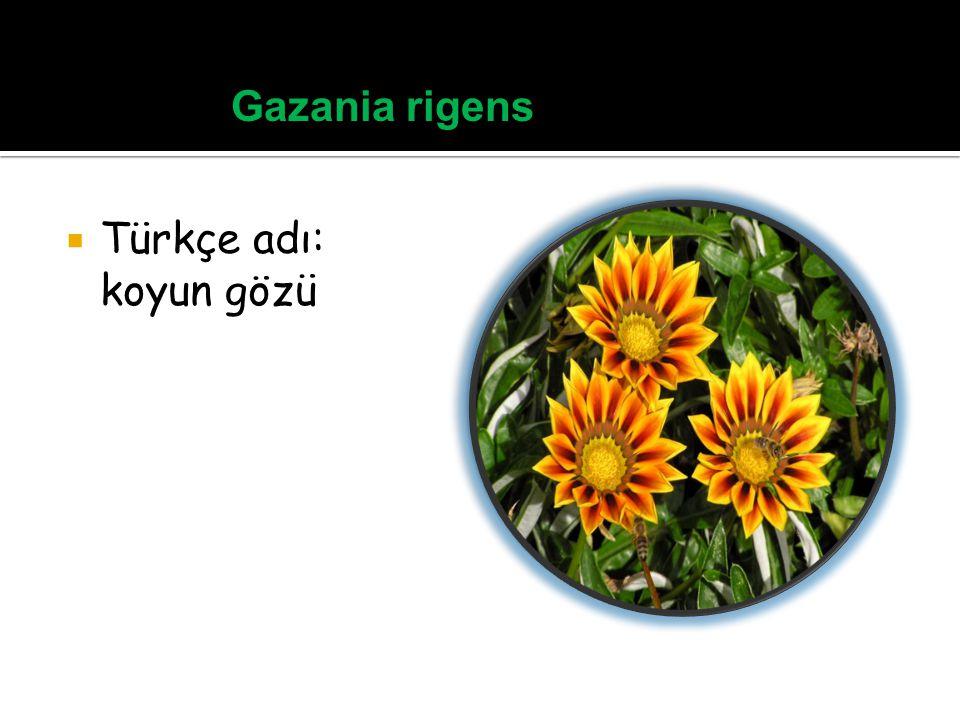 Gazania rigens Türkçe adı: koyun gözü