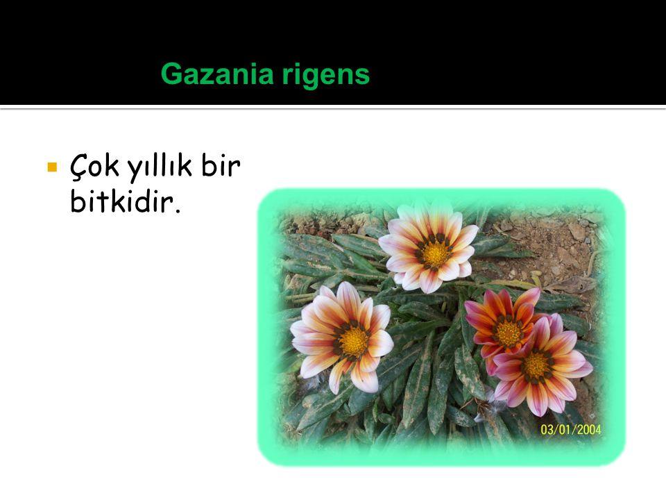 Gazania rigens Çok yıllık bir bitkidir.