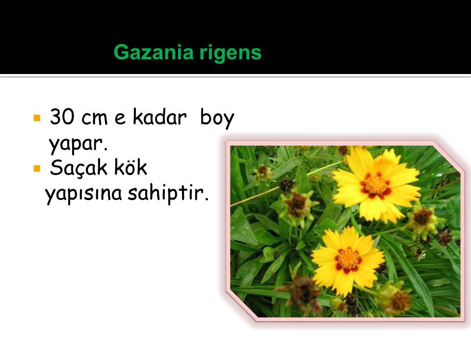 Gazania rigens 30 cm e kadar boy yapar. Saçak kök yapısına sahiptir.