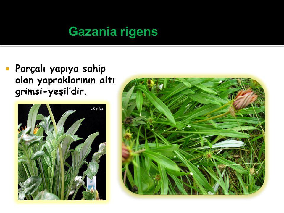 Gazania rigens Parçalı yapıya sahip olan yapraklarının altı grimsi-yeşil'dir.