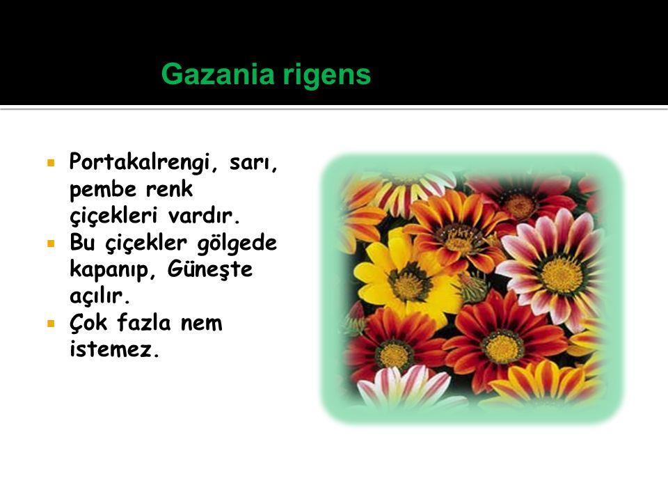 Gazania rigens Portakalrengi, sarı, pembe renk çiçekleri vardır.