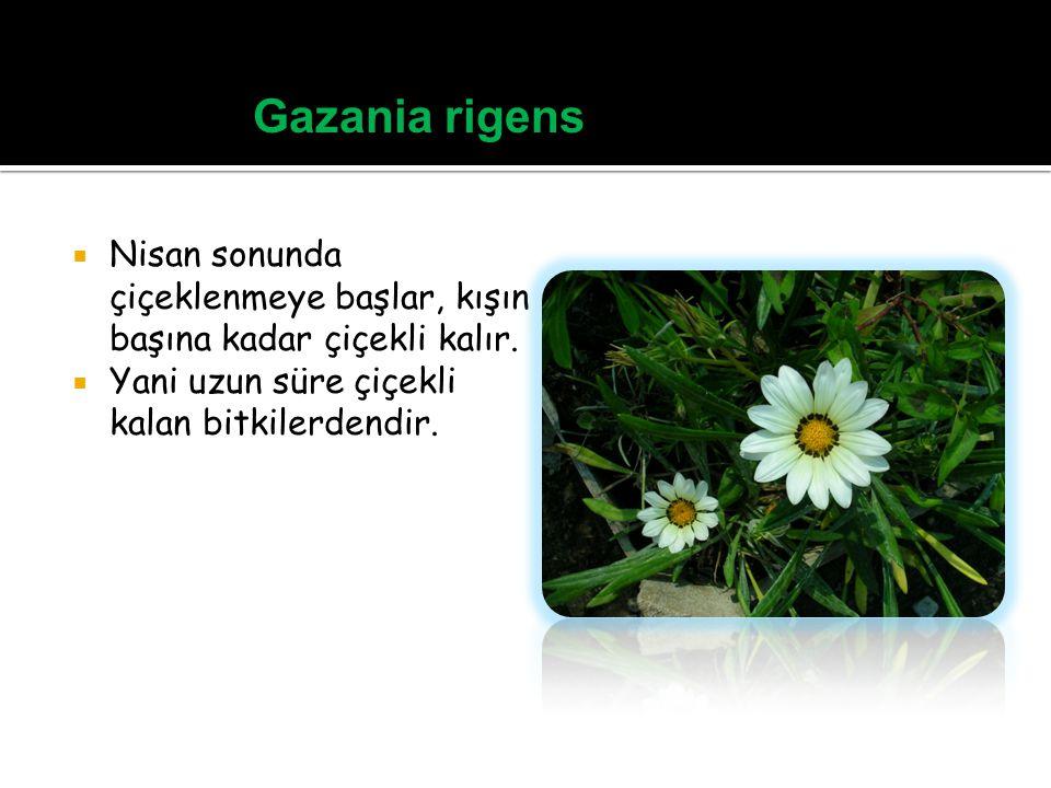 Gazania rigens Nisan sonunda çiçeklenmeye başlar, kışın başına kadar çiçekli kalır.