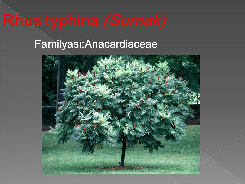 Rhus typhina (Sumak) Familyası:Anacardiaceae Familyası:Anacardiaceae