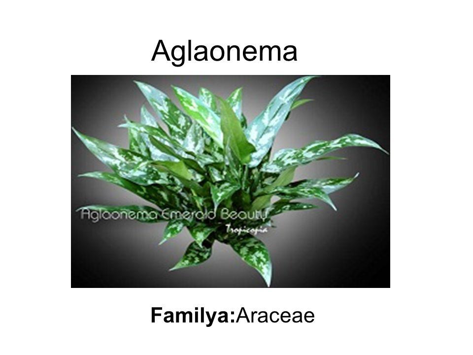 Aglaonema Familya:Araceae