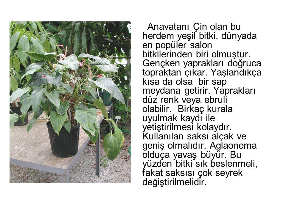 Anavatanı Çin olan bu herdem yeşil bitki, dünyada en popüler salon bitkilerinden biri olmuştur.