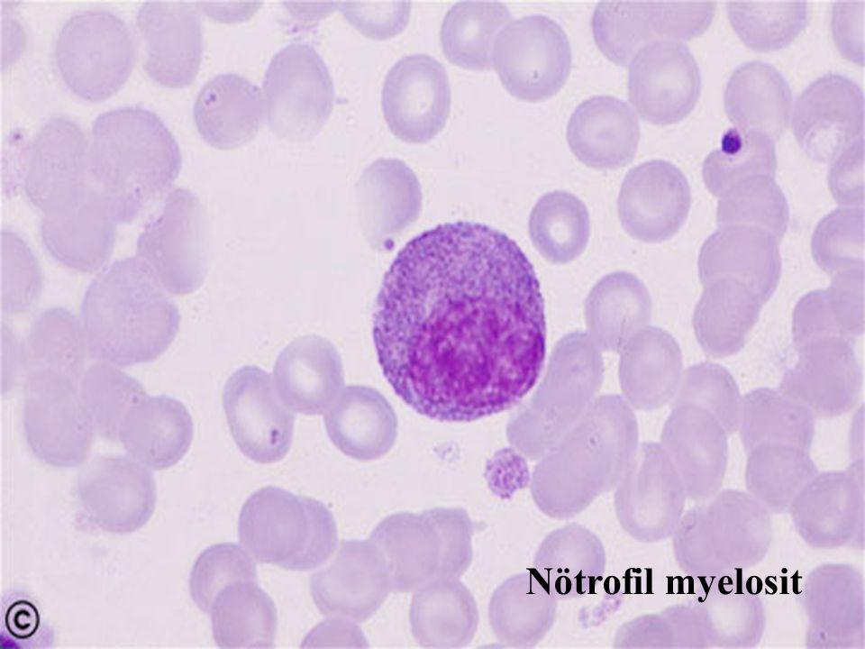 Nötrofil myelosit