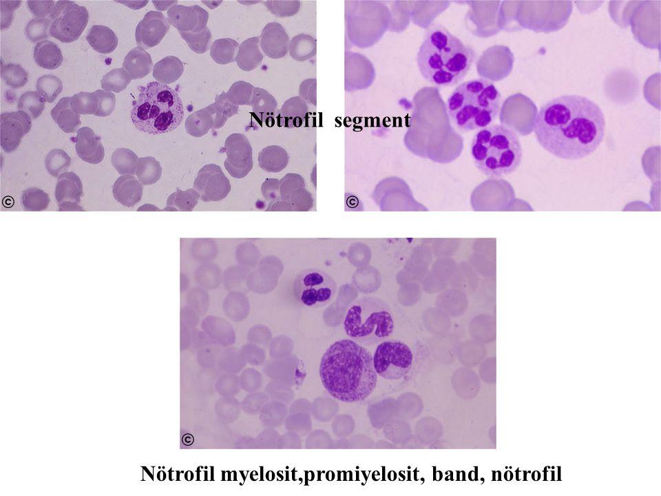 Nötrofil myelosit,promiyelosit, band, nötrofil