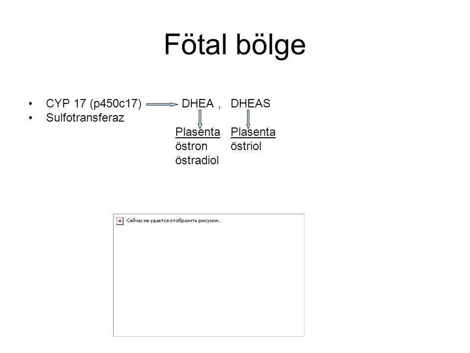 Fötal bölge CYP 17 (p450c17) DHEA , DHEAS Sulfotransferaz