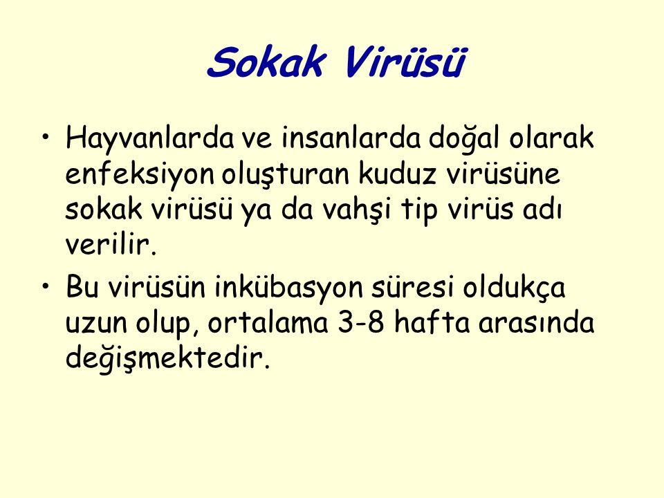 Sokak Virüsü Hayvanlarda ve insanlarda doğal olarak enfeksiyon oluşturan kuduz virüsüne sokak virüsü ya da vahşi tip virüs adı verilir.
