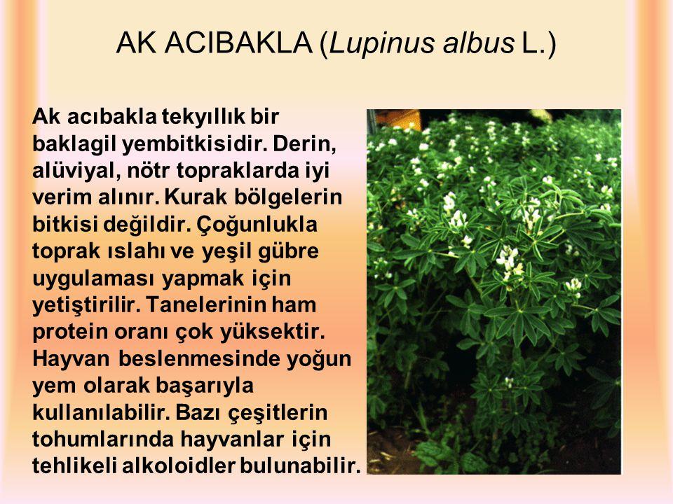 AK ACIBAKLA (Lupinus albus L.)