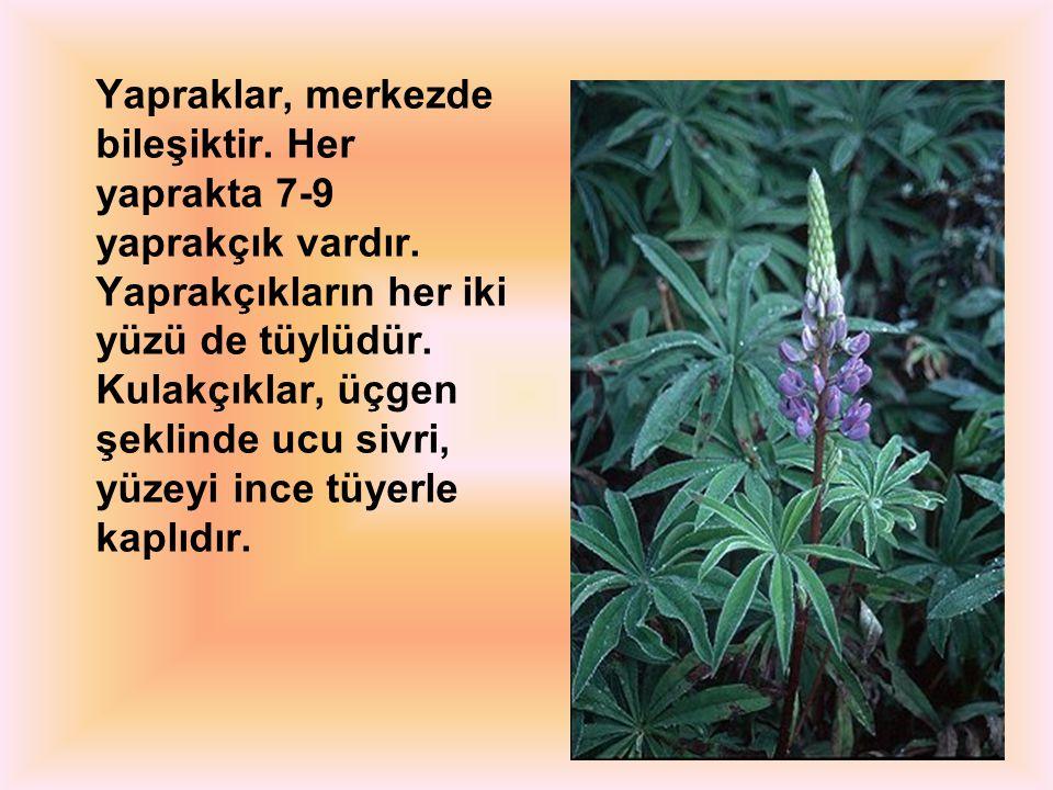 Yapraklar, merkezde bileşiktir. Her yaprakta 7-9 yaprakçık vardır